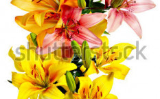 Stock-photo-aerial-view-of-flowers-variegated-lilies-on-a-white-background-107948525
