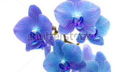 Stock-photo-beautiful-blue-orchid-isolated-on-white-background-77932399