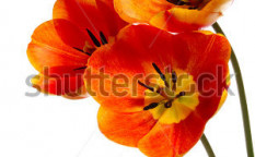 Stock-photo-beautiful-bouquet-from-three-flowers-on-white-background-95117887