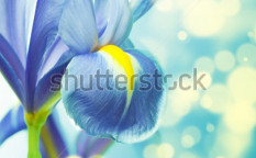 Stock-photo-beautiful-fresh-iris-flowers-61459429