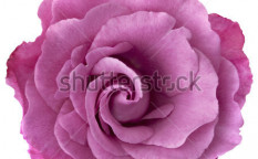 Stock-photo-beautiful-lavender-hued-rose-isolated-on-white-63833311