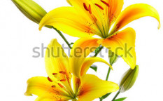 Stock-photo-beautiful-lilies-on-a-white-background-81658831