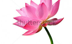 Stock-photo-beautiful-lotus-single-lotus-flower-isolated-on-white-background-104716580