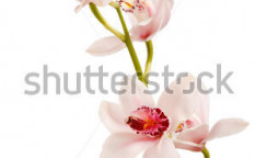 Stock-photo-beautiful-orchid-73028908