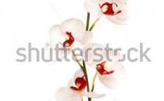 Stock-photo-beautiful-orchid-flower-on-white-background-5709622
