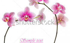 Stock-photo-beautiful-pink-orchid-on-a-white-background-127990853