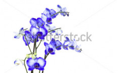 Stock-photo-beautiful-violet-orchid-phalaenopsis-99520571
