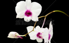 Stock-photo-beautiful-white-dendrobium-orchid-with-dark-purple-centers-isolated-on-black-background-60020314
