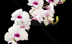 Stock-photo-beautiful-white-dendrobium-orchid-with-dark-purple-centers-isolated-on-black-background-60020329