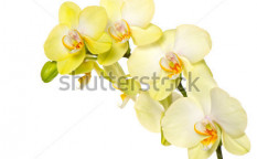 Stock-photo-beautiful-yellow-orchid-flower-on-white-background-102176839