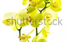 Stock-photo-beautiful-yellow-orchid-flower-on-white-background-102176845
