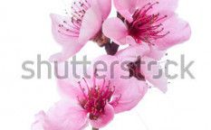 Stock-photo-blooming-tree-in-spring-with-pink-flowers-75298198