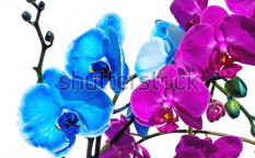 Stock-photo-blue-and-pink-orchid-flower-on-a-white-background-103989107