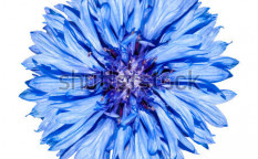 Stock-photo-blue-cornflower-flower-head-blue-centaurea-cyanus-isolated-on-white-background-63775135