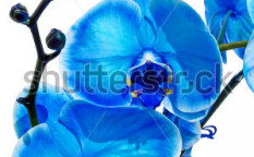Stock-photo-blue-orchid-isolated-on-white-103989110