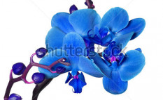 Stock-photo-blue-orchid-isolated-on-white-background-74063533