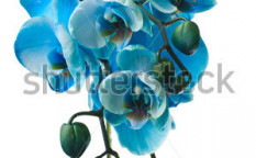 Stock-photo-blue-orchid-on-white-73364506