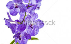 Stock-photo-blue-orchid-vanda-sansai-blue-isolated-on-white-113164204