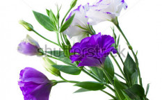 Stock-photo-bouquet-of-eustoma-flowers-isolated-on-white-118268140