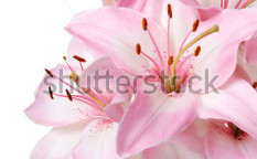 Stock-photo-bouquet-of-fresh-pink-lilies-isolated-on-white-55986274