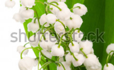 Stock-photo-bouquet-of-lily-of-the-valley-on-a-white-background-62925388