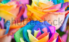 Stock-photo-bouquet-of-multicolored-roses-rainbow-rose-111762221