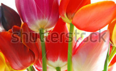 Stock-photo-bunch-of-beautiful-spring-flowers-colorful-tulips-against-white-background-17752465 (1)