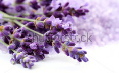 Stock-photo-bunch-of-lavender-flower-isolated-on-white-close-ups-15118240