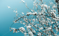 Stock-photo-bunches-of-cherry-blossom-72035845