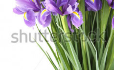 Stock-photo-close-up-of-a-beautiful-bouquet-of-purple-irises-isolated-on-white-background-94507807