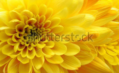 Stock-photo-close-up-of-yellow-flower-aster-daisy-102096172