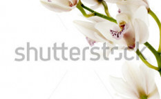 Stock-photo-close-up-portrait-of-pink-orchids-isolated-on-a-white-background-124798144