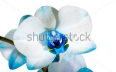 Stock-photo-dark-blue-orchid-66423313