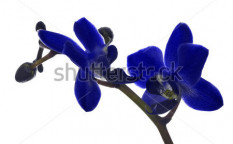 Stock-photo-dark-blue-orchid-flowers-isolated-on-white-background-117013012