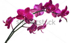 Stock-photo-dark-pink-orchid-flowers-isolated-on-white-background-123804805