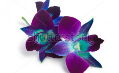 Stock-photo-deep-purple-orchid-isolated-on-a-white-73378195
