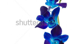 Stock-photo-deep-purple-orchid-isolated-on-a-white-background-73343023