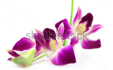 Stock-photo-dendrobium-orchid-over-white-background-116589106