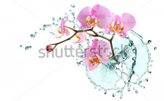 Stock-photo-ecology-concept-beautiful-pink-orchid-with-splashing-water-on-white-background-103643555