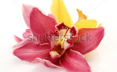 Stock-photo-fine-orchids-79321021