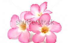 Stock-photo-floral-background-close-up-of-tropical-flower-pink-adenium-desert-rose-on-isolated-white-119019505