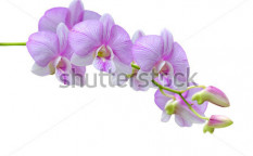 Stock-photo-flowers-pink-orchids-on-white-background-112117403