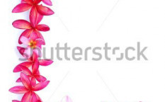 Stock-photo-frangipani-flowers-for-border-70670137
