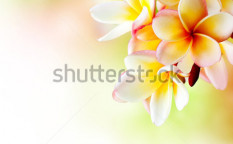 Stock-photo-frangipani-plumeria-flowers-border-design-104455553