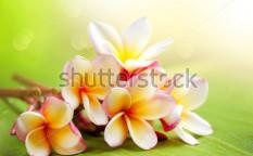 Stock-photo-frangipani-spa-plumeria-flowers-109536608