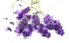 Stock-photo-fresh-lavender-plant-flowers-over-white-background-108849020