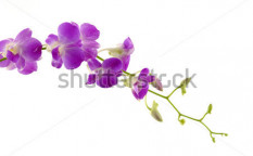 Stock-photo-fresh-violet-orchids-isolated-61608112