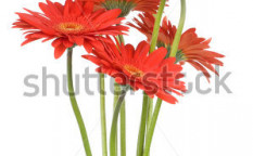 Stock-photo-gerber-flowers-isolated-on-white-background-54360292