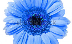Stock-photo-gerbera-flower-with-water-drop-isolated-on-white-background-129637238