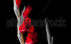 Stock-photo-gladiolus-flower-on-black-and-white-background-95529403